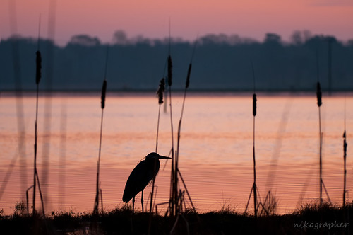 blue bird heron grass birds sunrise lenstagged spring nikon great wetlands april nikkor greatblueheron apr 2010 gbh 200400mm marylandseasternshore d300s ed200400mmf4gifvr nikond300s 20100402d300s21913