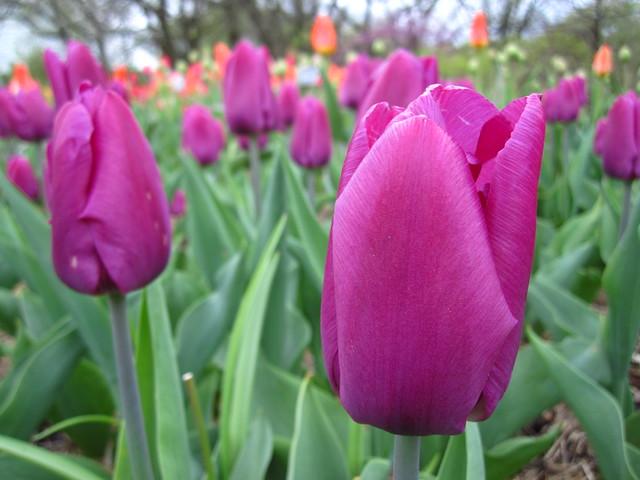 Purple Prince Triumph Tulip