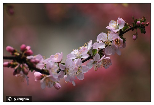 【图】单瓣榆叶梅4