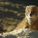 Yellow Mongoose - Photo (c) Christian Baudet, some rights reserved (CC BY-NC-SA)