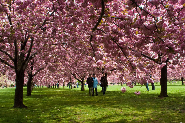 Brooklyn Botanical Gardens Cherry Blossoms The Cherry Tree Flickr Photo Sharing