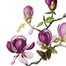 Harbingers of Spring by BugsBeastsBotanicals
