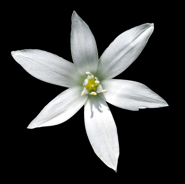 Star of Bethlehem, Png file, Attention only the maximum original size is in png format