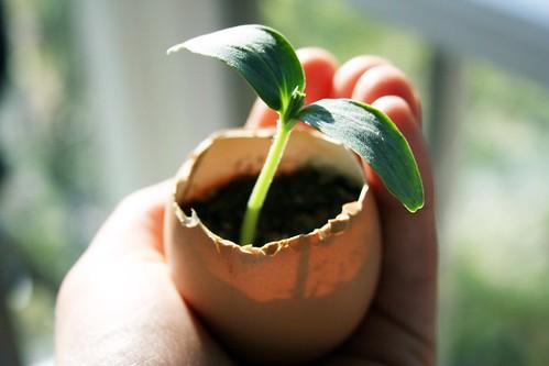 seedling in shell