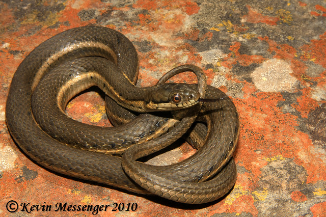 Photo of Mexican Black-bellied Garter Snake