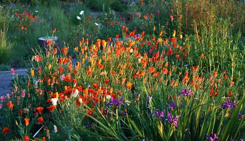 Eschscholzia californica - California Poppy and Iris douglasiana - Douglas Iris