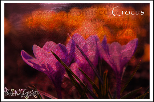 light flower texture nature landscape petals spring nikon earth crocus dirt bloom crocuses d90 18105mm