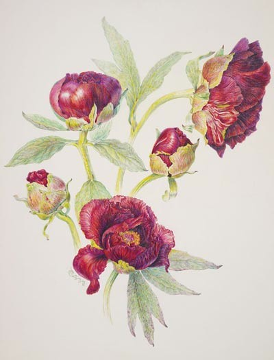 "Paeonia 'Black Pirate' by Carol Ann Morley, 2006.  Colored pencil on Fabriano Artistico 140#, 14"" × 11"". © Copyright Brooklyn Botanic Garden"