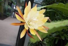 lily(0.0), plant(0.0), floristry(0.0), plant stem(0.0), flower(1.0), yellow(1.0), epiphyllum(1.0), macro photography(1.0), flora(1.0), close-up(1.0), epiphyllum crenatum(1.0), cactus family(1.0),