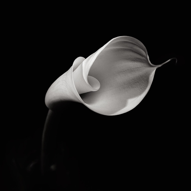 Flower Study I - The secret life of an Arum Lily