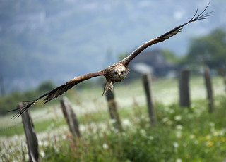 Red Kite approaching