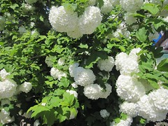 annual plant, shrub, flower, guelder rose, plant, produce, viburnum,