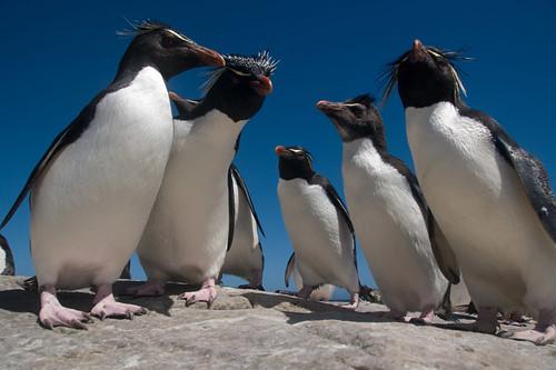 Rockhopper Penguins by sax_man_al