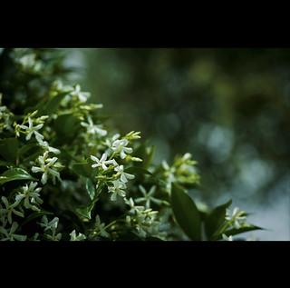 una cascata verde, di bianco fiorita