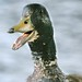 Small photo of Excitable duck