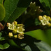 California buckthorn - Photo (c) Eric in SF, all rights reserved