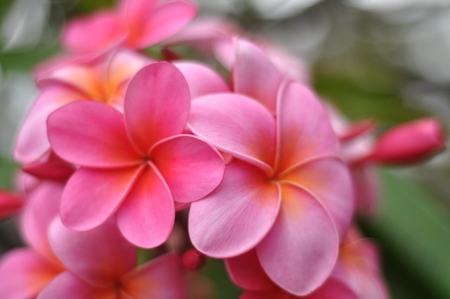 Pink Plumerias | Flickr - Photo Sharing!: https://flickr.com/photos/nikonteam/4697781113