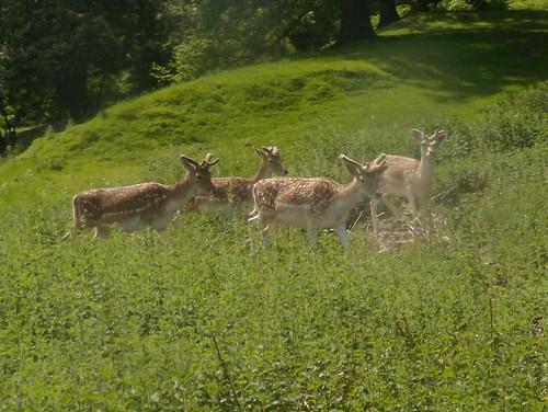 Knole Park deer