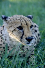 animal, snow leopard, cheetah, grass, mammal, fauna, cat-like mammal, close-up, whiskers, wildlife,