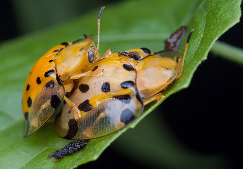 Mating Tortoise beetles and parasitoid wasp..IMG_0407 copy