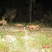 Florida panther family