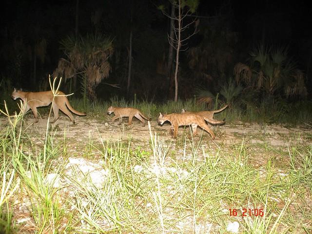 Florida panther family