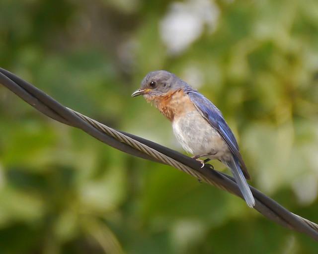Eastern Bluebird - 1