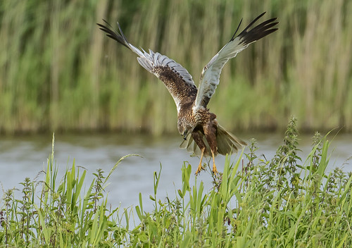 Marsh Harrier - About to strike