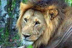 adventure(0.0), savanna(0.0), animal(1.0), mane(1.0), big cats(1.0), masai lion(1.0), lion(1.0), zoo(1.0), mammal(1.0), fauna(1.0), close-up(1.0), whiskers(1.0), safari(1.0), wildlife(1.0),