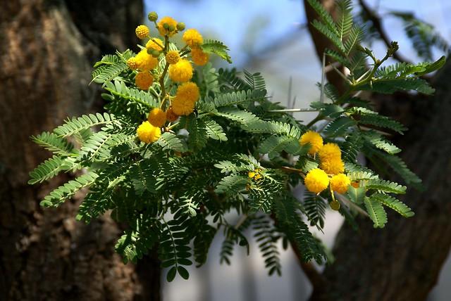 Akazie, Karroo- / sweet thorn (Acacia karroo)