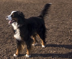 dog breed(1.0), animal(1.0), dog(1.0), pet(1.0), miniature australian shepherd(1.0), australian shepherd(1.0), english shepherd(1.0), bernese mountain dog(1.0), carnivoran(1.0),