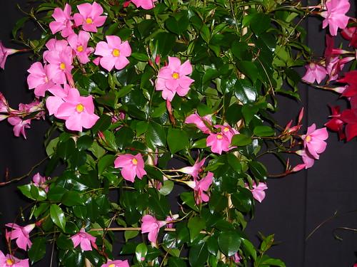 grow mandevilla jasmines gardeners tips. Black Bedroom Furniture Sets. Home Design Ideas