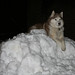 Scarlet the Siberian Husky Hanging Out on Her Snow Mountain