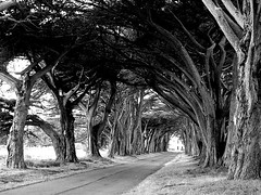 Avenue of Trees - Point Reyes - Black and White