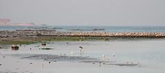 Flamingo on Askar beach