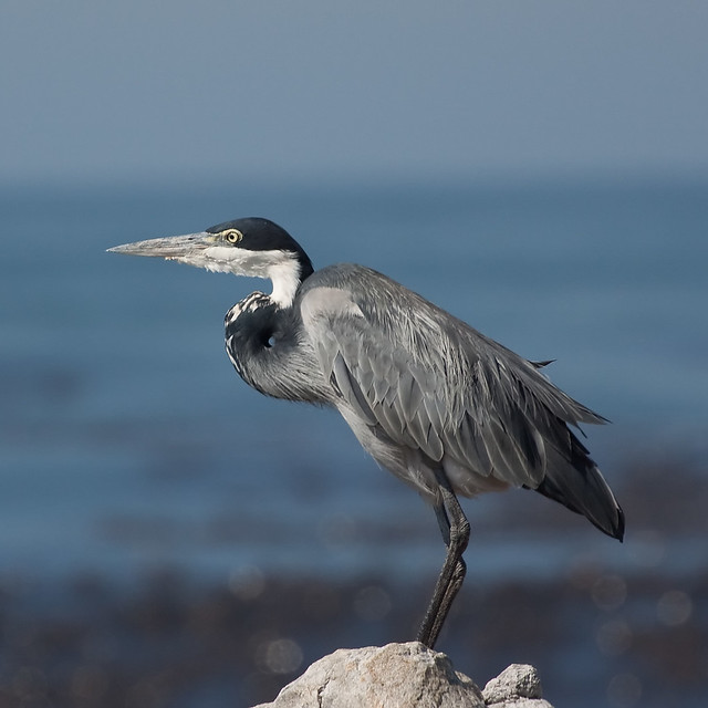 Black headed heron - photo#25