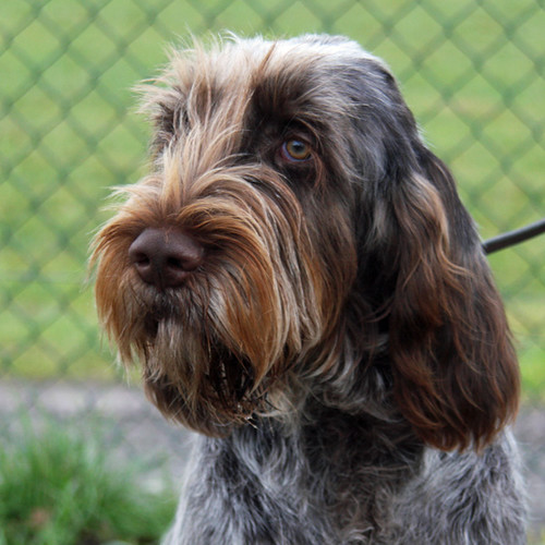 italian spinone dog breeds picture