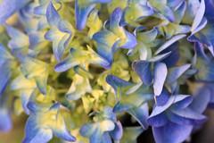 lilac(0.0), hydrangea(1.0), flower(1.0), plant(1.0), macro photography(1.0), flora(1.0), hyacinth(1.0), hydrangeaceae(1.0), blue(1.0), petal(1.0),