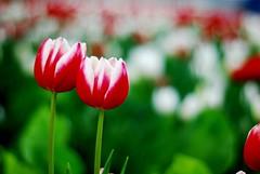 I ♥ Tulip 鬱金香