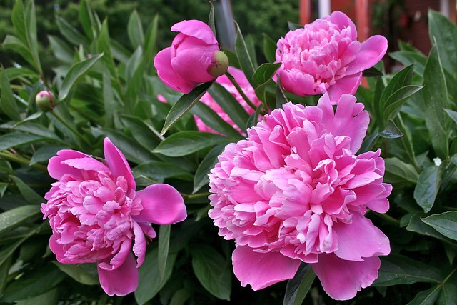 Image of a Paeonia lactiflora - Summer Plants in Broward County