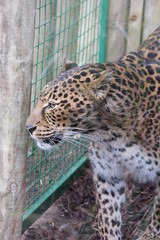animal, cheetah, leopard, zoo, mammal, jaguar, fauna, cat-like mammal, wildlife,