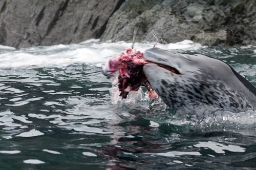 EFD Leopard Seal Attacks Chinstrap Penguin (34 of 43 ...