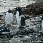 Gentoo Penguins by the Water - Antarctica