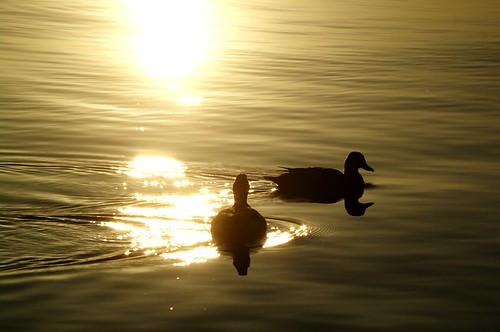 sun reflection nature water birds duck nps dcist mallard nationalparkservice potomacriver anasplatyrhynchos alexandriavirginia fairfaxcounty georgewashingtonmemorialparkway bellehavenmarina
