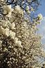 Photo:ハクモクレン (white yulan flower) By yellow_bird_woodstock