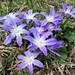 Hyacinthaceae 風信子科