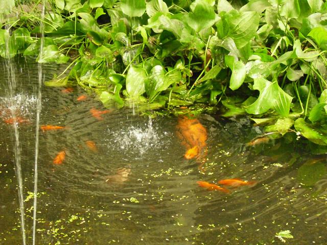 Peces de colores en el estanque en la facultad de for Peces de estanque