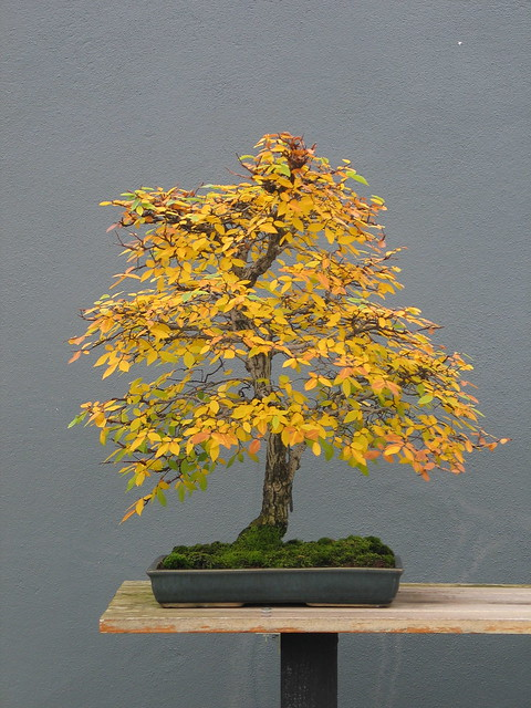 Ulmus alata  style Informal Upright  with Fall color