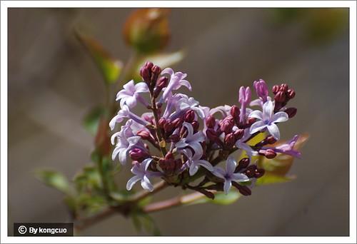 【图】紫丁香开花
