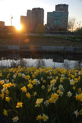 Daffodils as the sun sets over the Museum Towers and EF Education buildings at North Point Park